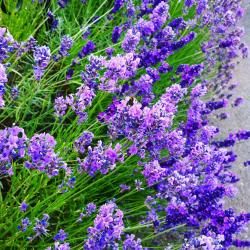 I would #burst with excitement if I had #lavender like this - all those biscuits, cakes and other goodies I could make with it