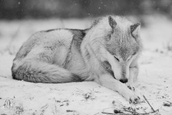 snow winter animals Black and White wolf MY EDIT landscape nature wild gray wolf falling snow
