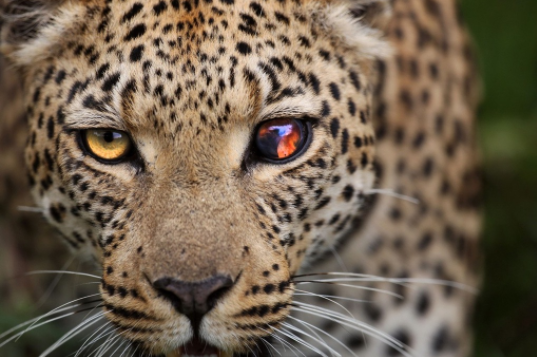 """sporadiccynic: """" sixpenceee: """" This shot was a winner of a weekly National Geographic photo contest. Taken by Wayne Wetherbee. While on safari in Africa, on the Okavango Delta, Botswana photographing wildlife, this leopard had made a kill and brought..."""
