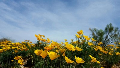 winter-in-tucson-california-poppies