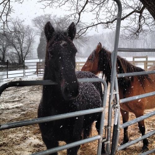 Man, it's snowin' again!  #horses #horse  snow horse #equine