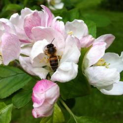 Busy bee in the apple blossom on Sunday - let's hope for a good harvest