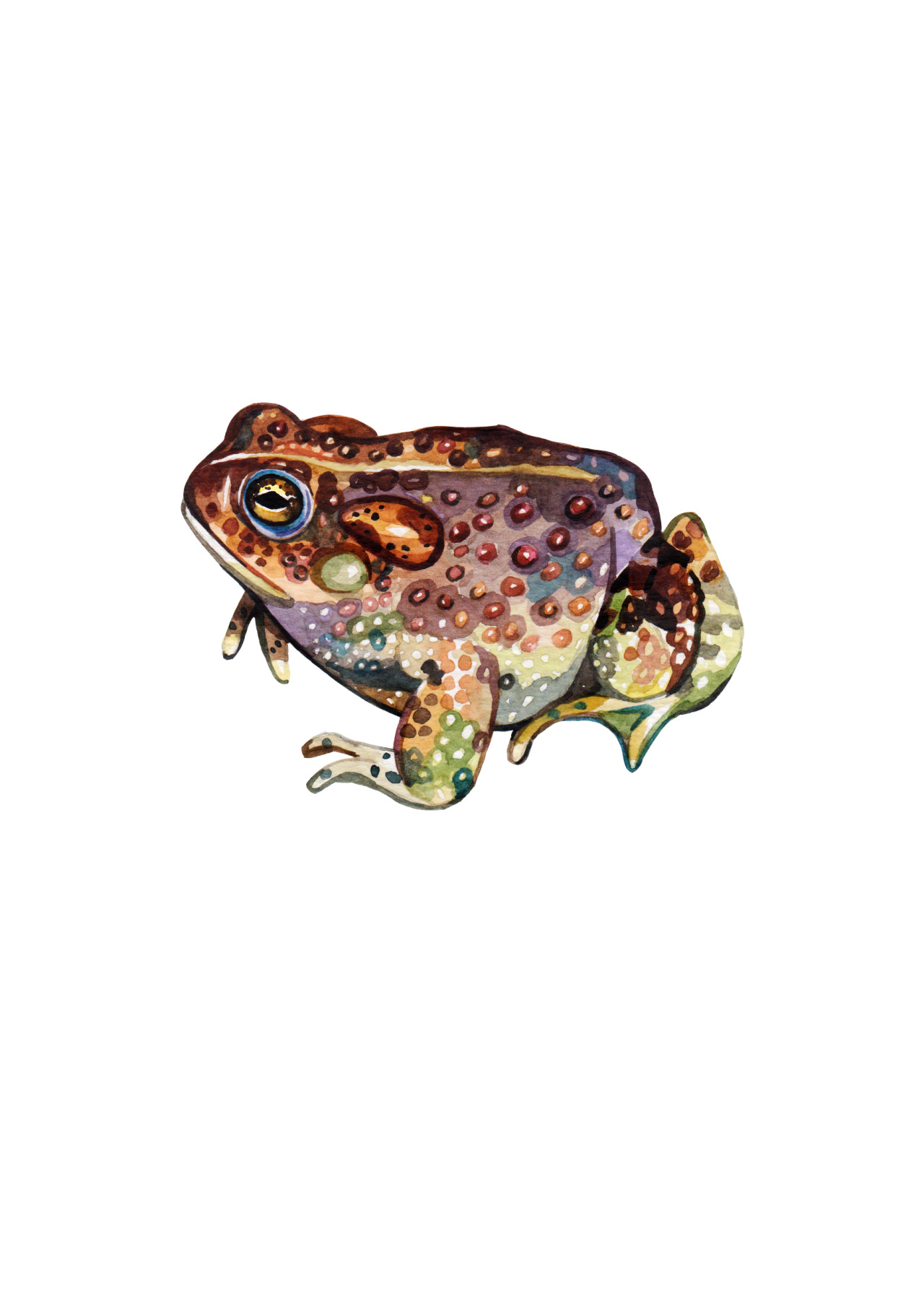 HOLLY EXLEY ILLUSTRATION — Arizona toad in watercolour. I am a ...