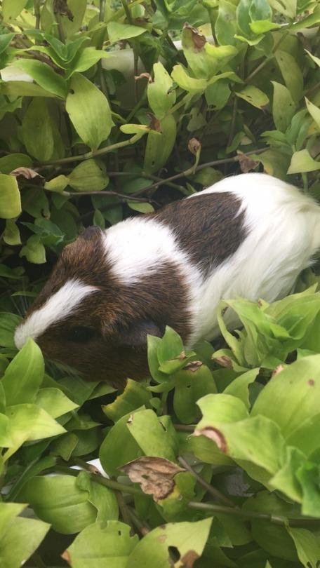 guinea pig care | Tumblr