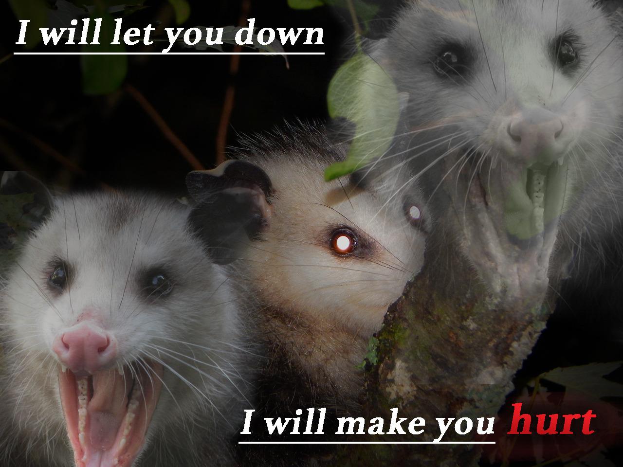 #possum#possums#opossum#opossums#lyrics#johnny cash#hurt