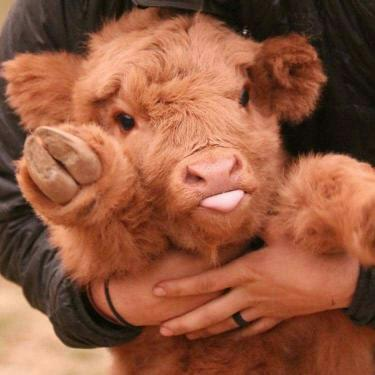 Highland cattle via /r/Eyebleach https://ift.tt/38QNiMa #cute#wholesome#funny#happy#reddit#animals#puppy#kitten