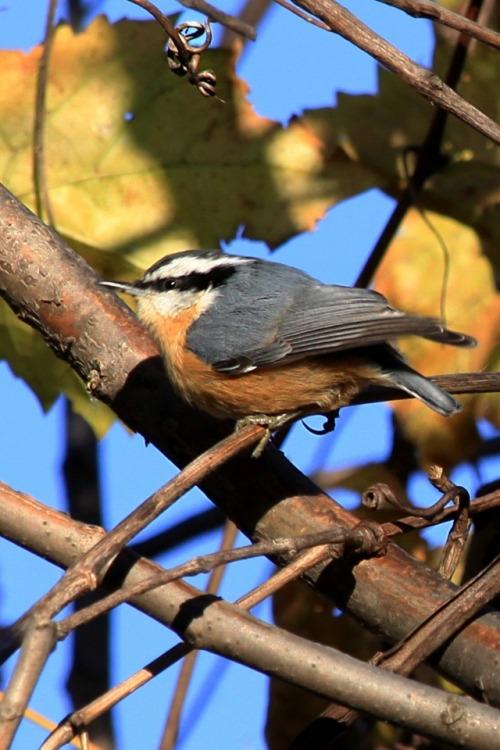 photographers on tumblr wildlife birds nuthatch nature October sumac walking-geema