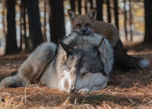 fox dog wolf cute animals dogs wolves foxes nature wildlife photography lol funny wild red fox beautiful