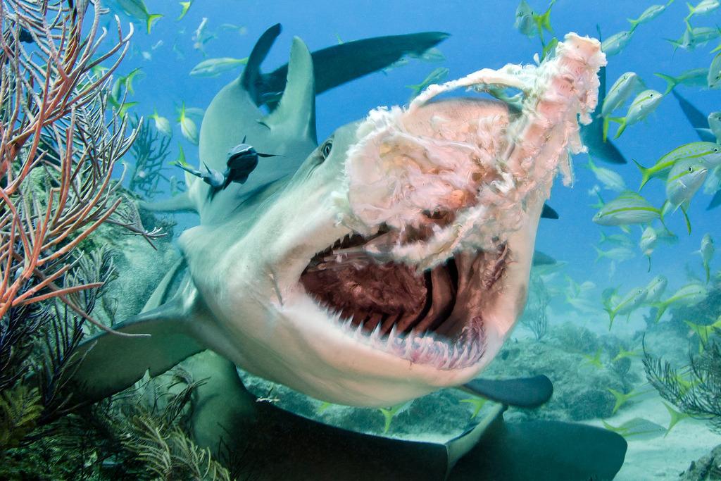 beawareofsharks:Lemon Shark, Negaprion brevirostris (by Todd Bretl)