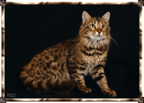 Marvel: Erik KillmongerLongfurredBengal #Characters as cats #erik killmonger#black panther#marvel#cat version