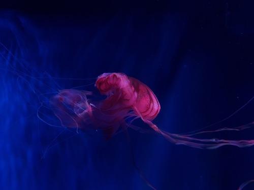 jellyfish jelly fish underwater aquarium curators on tumblr japan sea life ocean sea animals fish blue photoset up cc photo