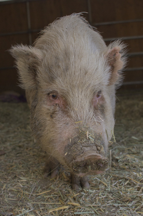 pigs dirty pig straw brown eyes cute muddy mud animal sanctuary animals go vegan veganism vegan photography original photography