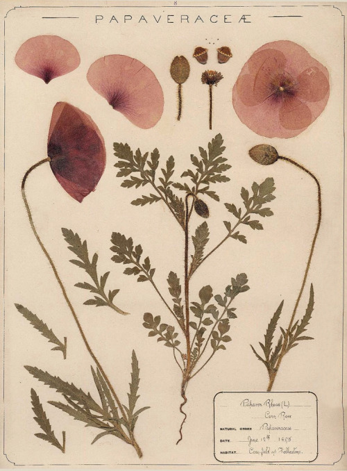 herbarium botanical illustration poppy mohn medical plant 1000 likes 5000 likes 50000 likes