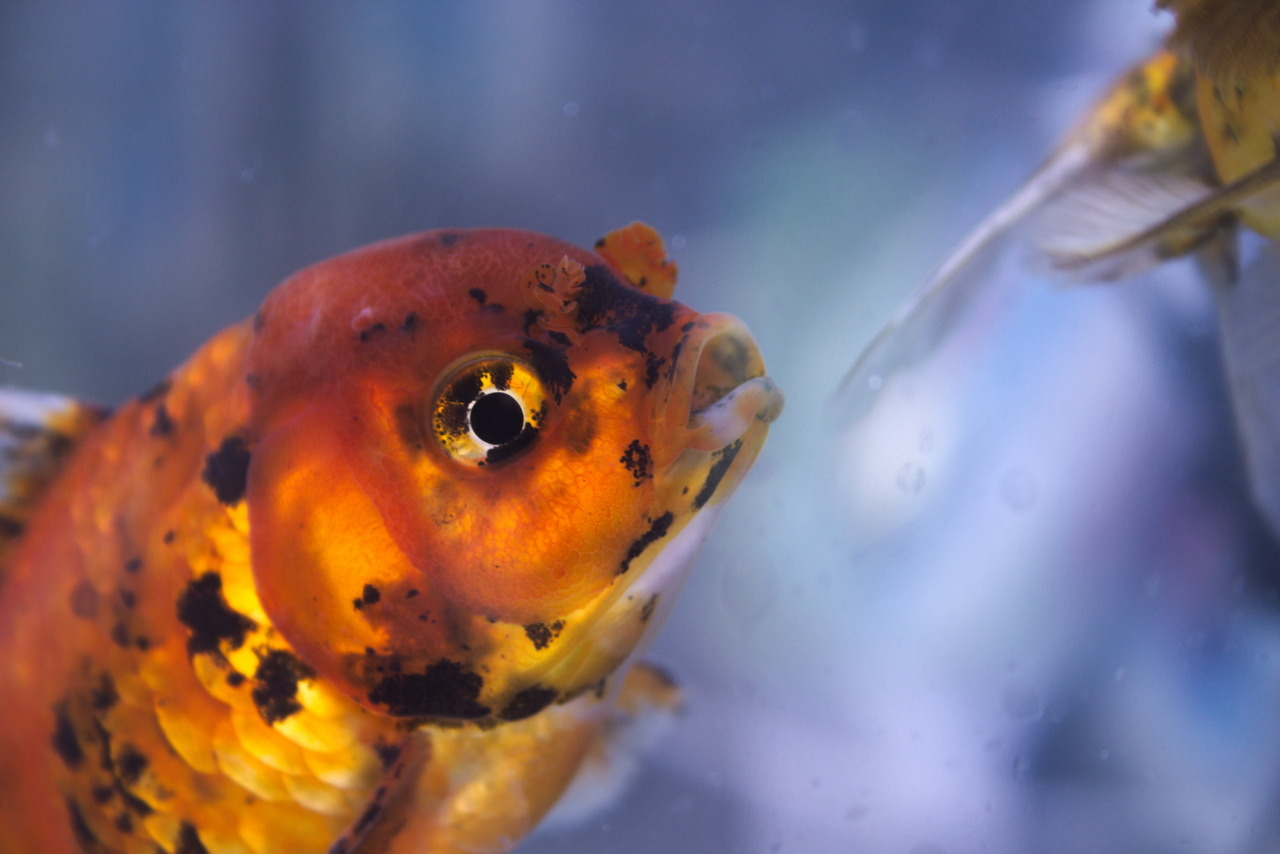 Fuckyeah Goldfish