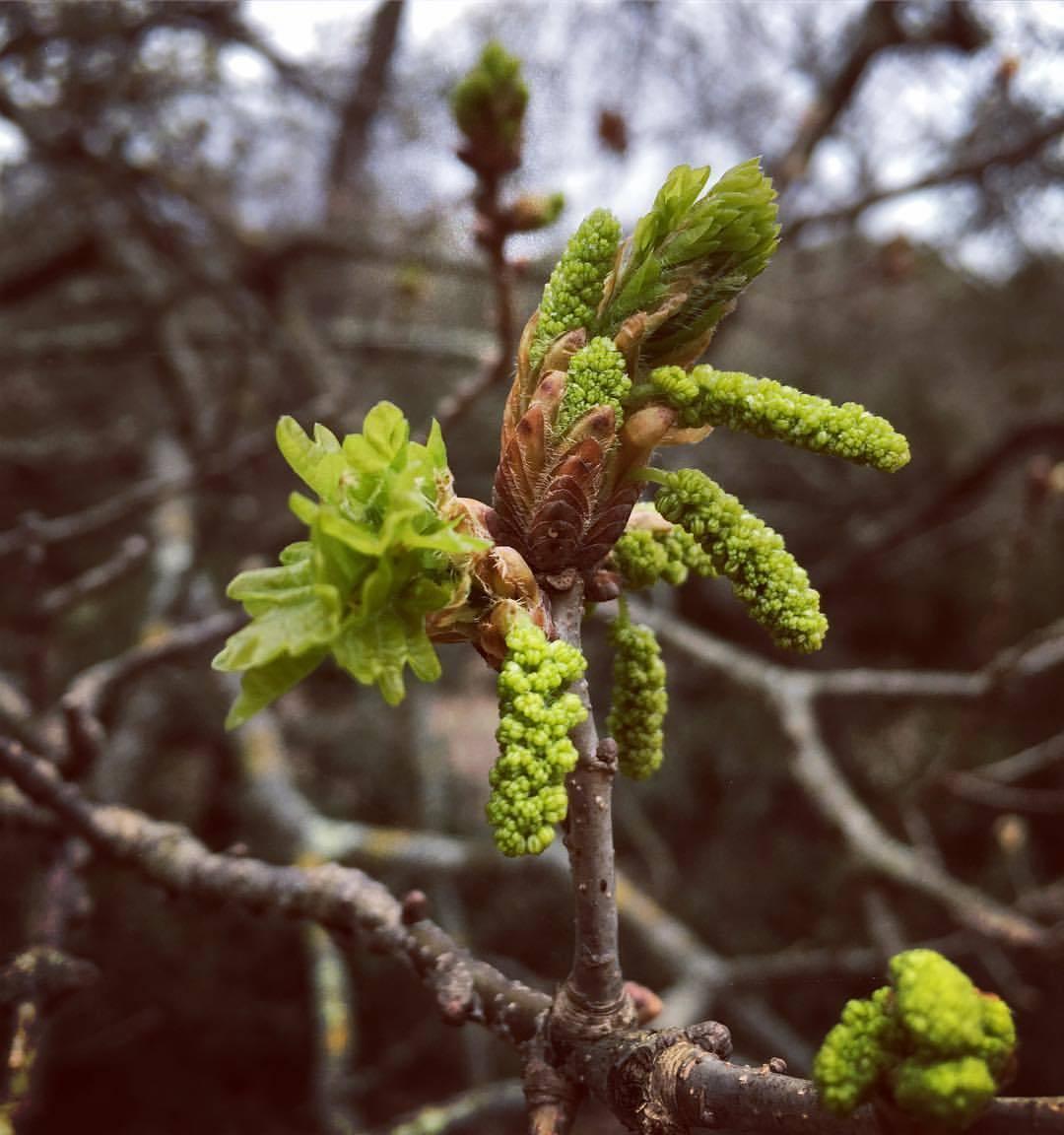 tiens-voilà-le-printemps-botanique-quercus