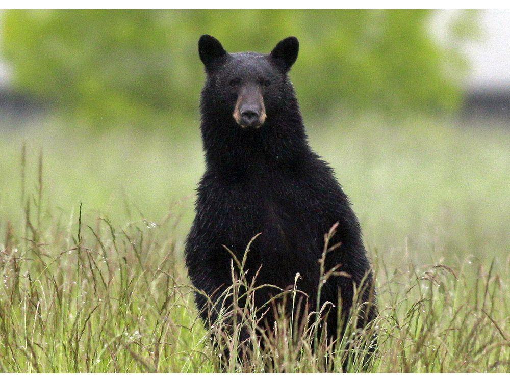 B.C.'s best animals of 2019: The nominees for worst bear via /r/Animals https://ift.tt/2tkFEKp #IFTTT#reddit#funny#animal#real