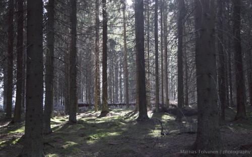 norway spruce Picea abies kuusi metsäkuusi spruce forest metsä spruce forest kuusimetsä kuusikko Kuhasalo Kukkosensaari Joensuu North Karelia Pohjois-Karjala Finland nature luonto mielikuva imagination havumetsä conifer forest boreal forest