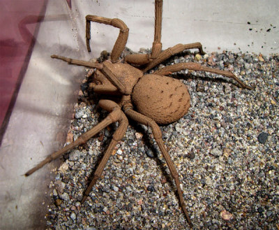 Animal Of The Week Trigger Warning For Arachnophobia This Weeks Animal Is The Six Eyed Sand Spider