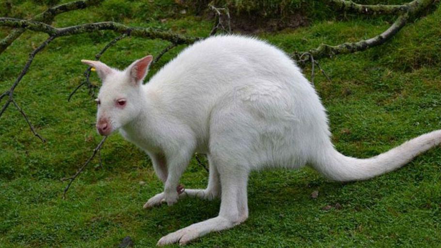 Canguro albino.