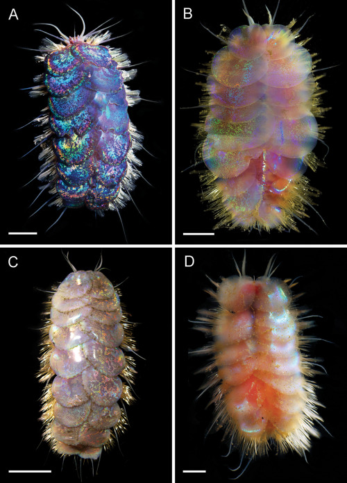 """bonniegrrl: New """"glitter worms"""" dance and fight one another underwater One of the newly-discovered Peinaleopolynoe worms is named after Elvis because its iridescent scales look like costume sequins. Read more in my CNET article here."""