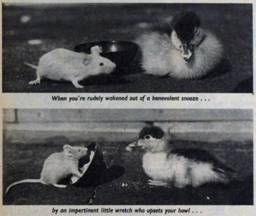 1950s midcentury animals rats duckling vintage history historic ducks 1952