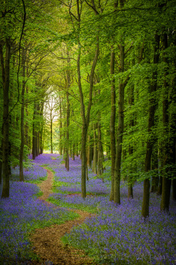 Bluebell Cathedral, Ashridge | England (by Old-Man-George)