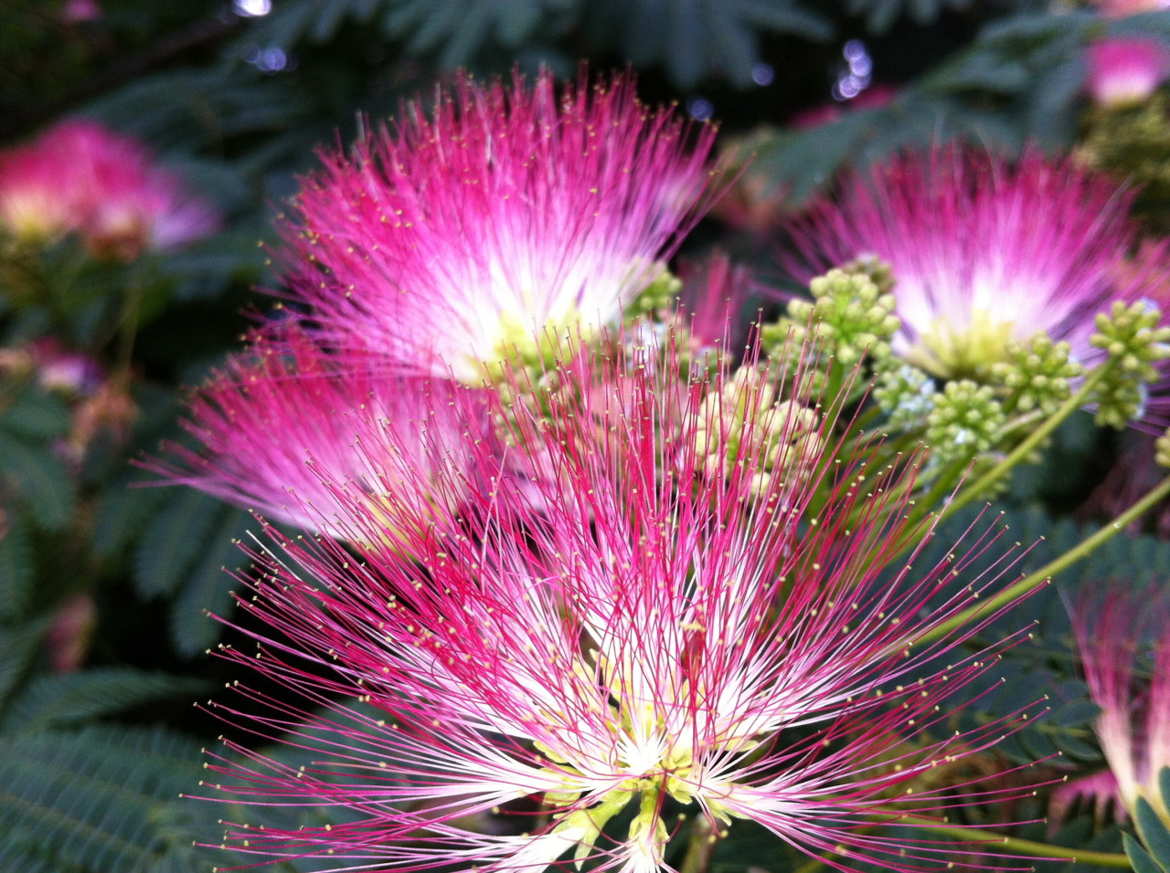 Green witch of the south mimosa tree silk tree folklore and mimosa tree silk tree folklore and medicine i happen to have a mimosa tree growing mightylinksfo
