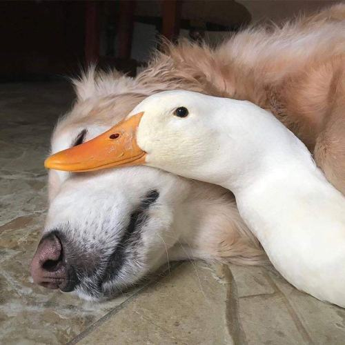 animals-addiction:  This is Rudy the goose, and Barclay the Golden. They've been best friends ever since they met.🦆🐶💜
