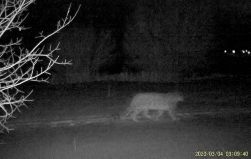 Rare snow leopards spotted in Kazakh city amid lockdownhttps://www.presstv.com/Detail/2020/05/25/626109/Rare-snow-leopards-spotted-in-Kazakh-city-amid-lockdown #kazakhstan#leopard#snow#lockdown