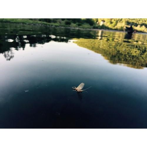 flyfishing dryfly mayfly flyseason