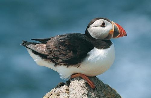 Puffin plop on a rock : birdplops