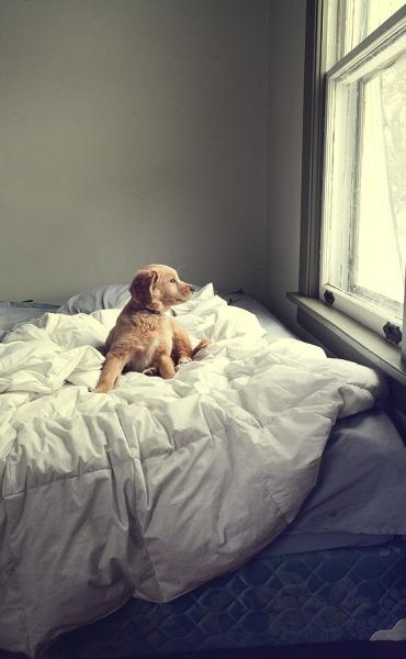 Golden Retriever Puppy Tumblr