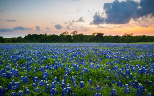 Texas Bluebonnets [4032x2520] [OC] #inline reddit: EarthPorn #Photography#Art#EarthPorn#Reddit#Imgur