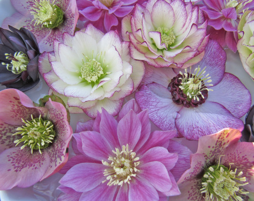 Aren't hellebore flowers blissfully beautiful? Here's a selection from my garden that I arranged in a bowl