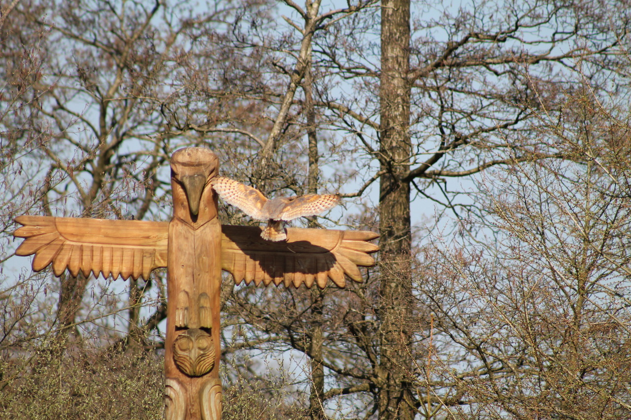 Photo shoot: 07.04.2019 #barn owl#schleiereule#tyto alba#Wildlifepark#tierpark #photographers on tumblr #photography#photo