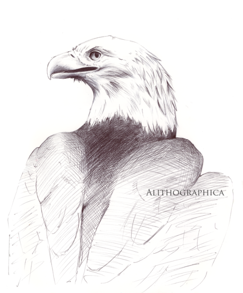 scientific illustration bald eagle bird raptor ballpoint pen my art artists on tumblr original art