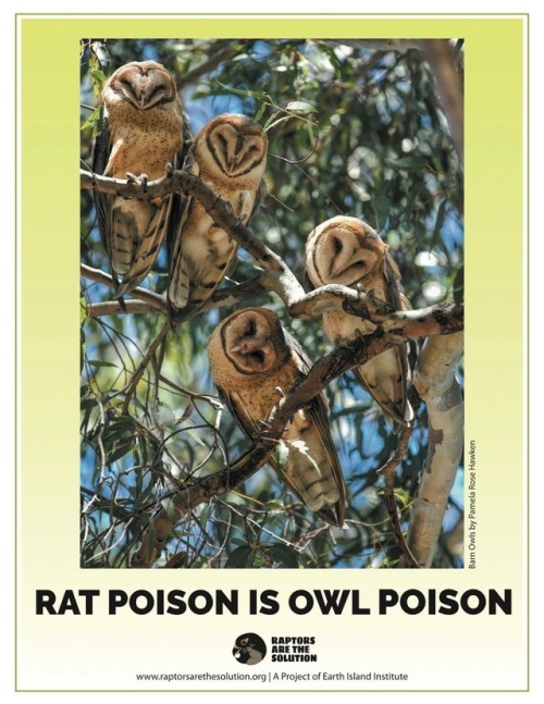 owl raptor raptors are the solution RATS poison rodenticide hawk eagle falcon bird wildlife pest control