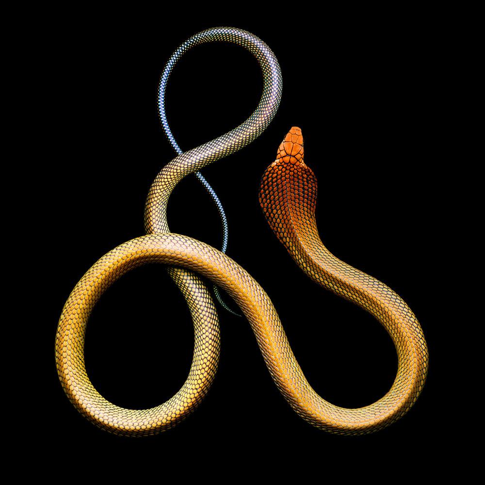 Mark Laita (American, b. 1960, Detroit, MI, USA, based Los Angeles, CA, USA) - King Cobra (Ophiophagus Hannah), 2011 Photography