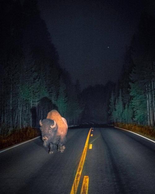 bison wild nature wildlife whpmovement yellowstone