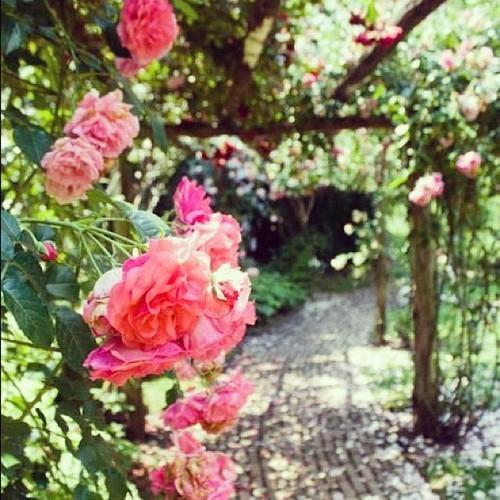 Old Westbury Gardens Rose Garden