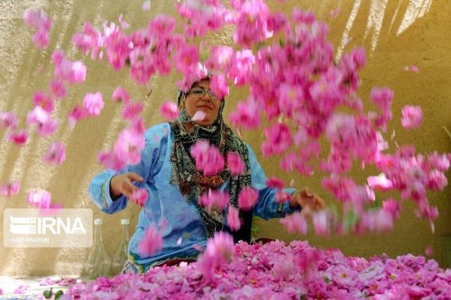 """Farmers in Iran's Northeast Start Harvesting Damask RoseDamask rose harvesting from """"Flower village"""" in Khodagholi village of Bojnourd city starts from the end of May and continues until the middle of June.Damask rose (Rosa damascena Mill) is a widely cultivated flower throughout the country. The rose water produced from damask roses is applied in pharmaceutical and perfumery industries. #iran#bojnourd#flowers#village#rose"""
