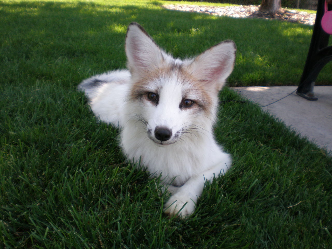 Crazy Cute Foxes Meet Juno A Very Beautiful Marble Fox