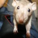 Elusive Rat tumblr blog logo