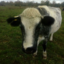 blog logo of cows&cats..cattle....farm....cow pictures..ireland
