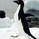 Penguin tumblr blog logo