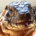 The Horizontal Tegu