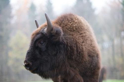 fuckyeahungulates:Wisent (Bison bonasus)