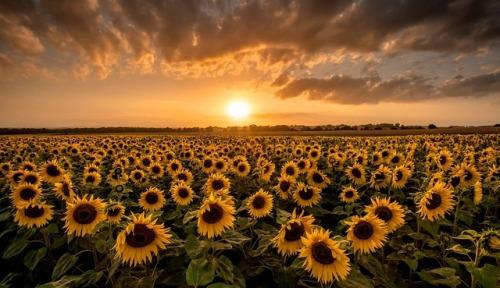 sunflowers sunset   Tumblr