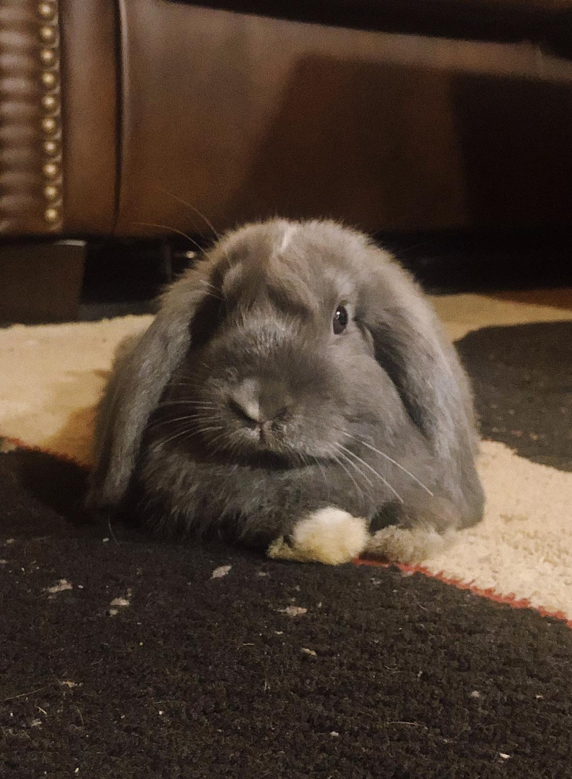 An early birthday gift! Everyone meet Dunkin' #rabbits#awwcutepets#pets