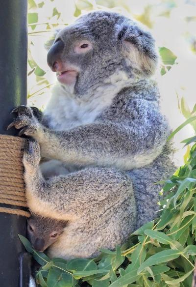 Koala Puns Tumblr